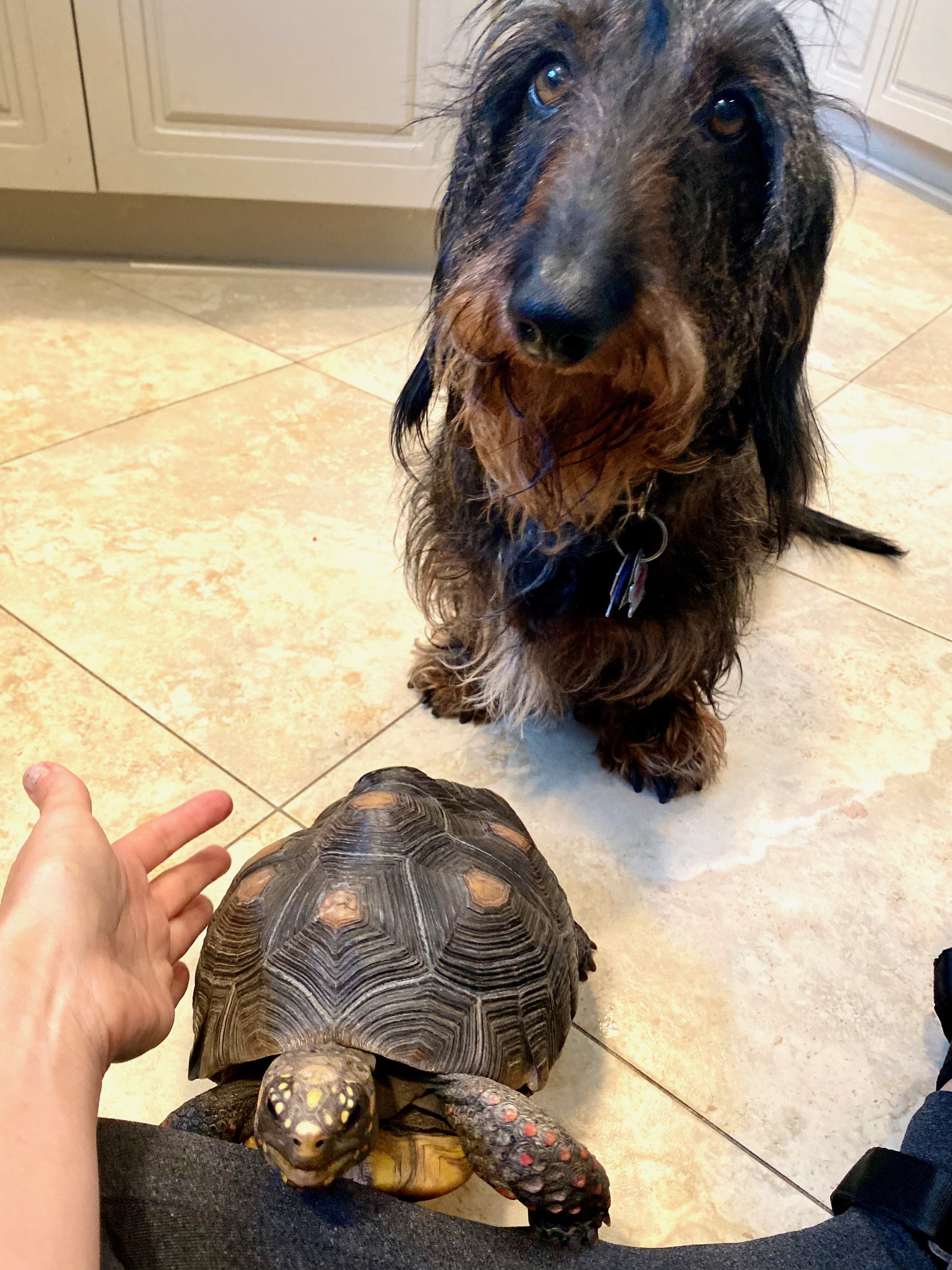 tortoise with dachshund friend