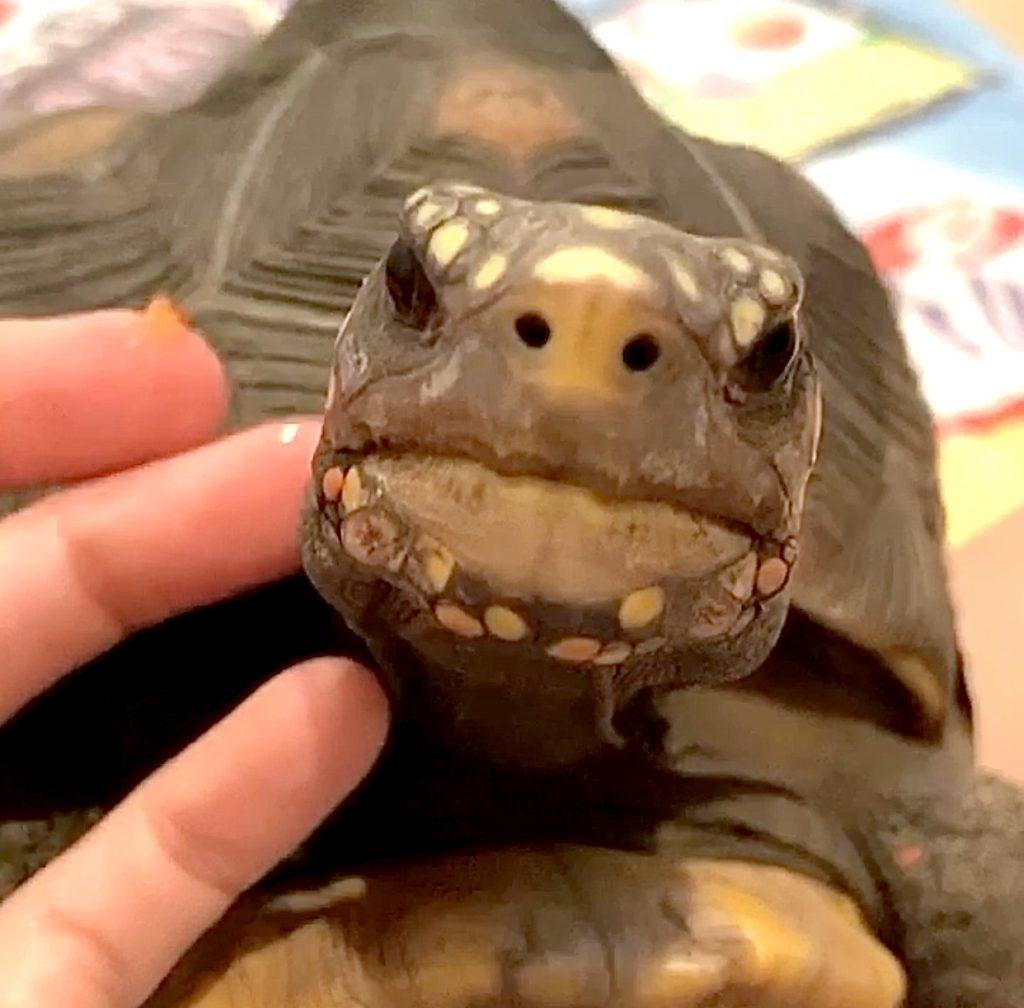 brave tortoise face