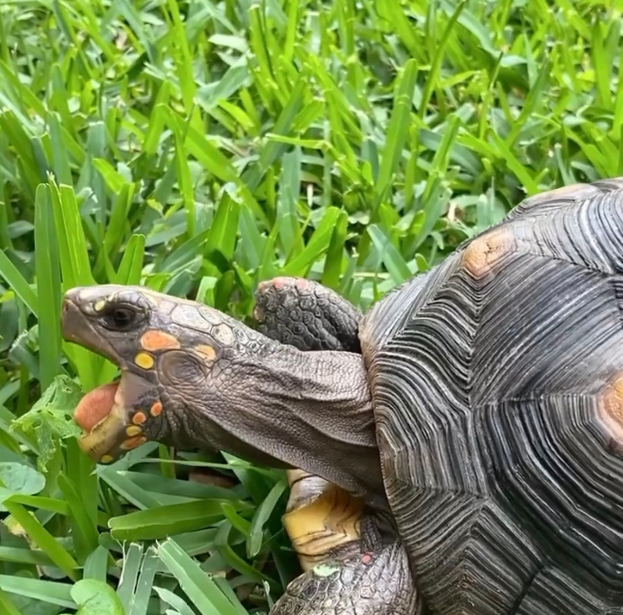 redfoot tortoise eats grass
