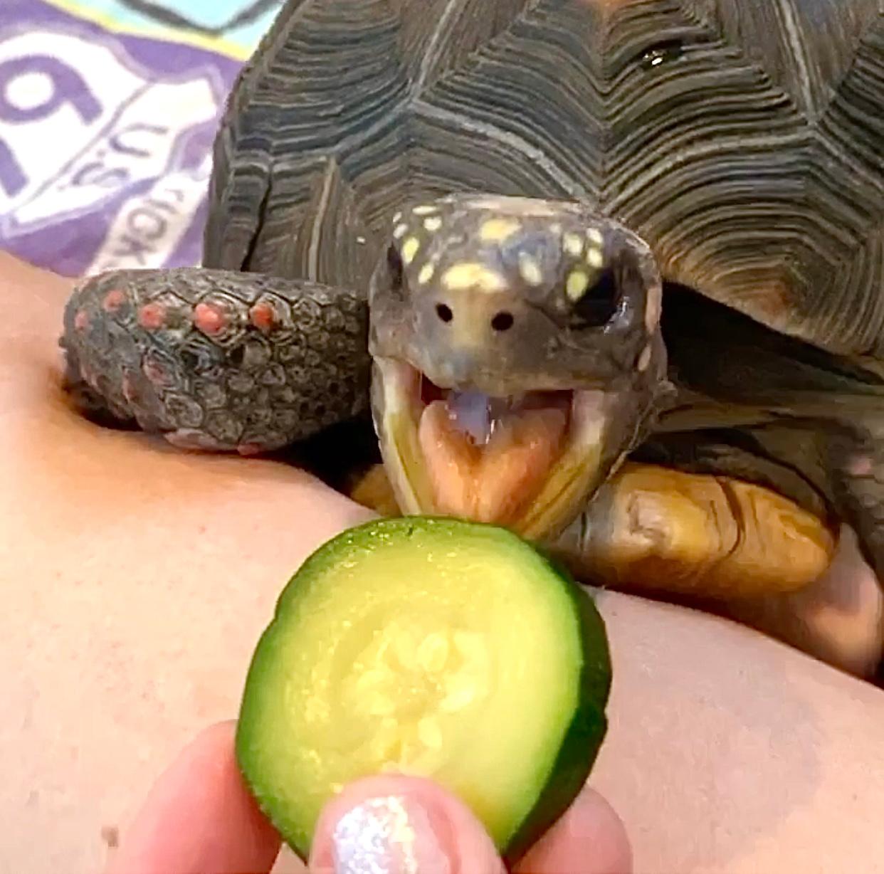 tortoise eats zucchini