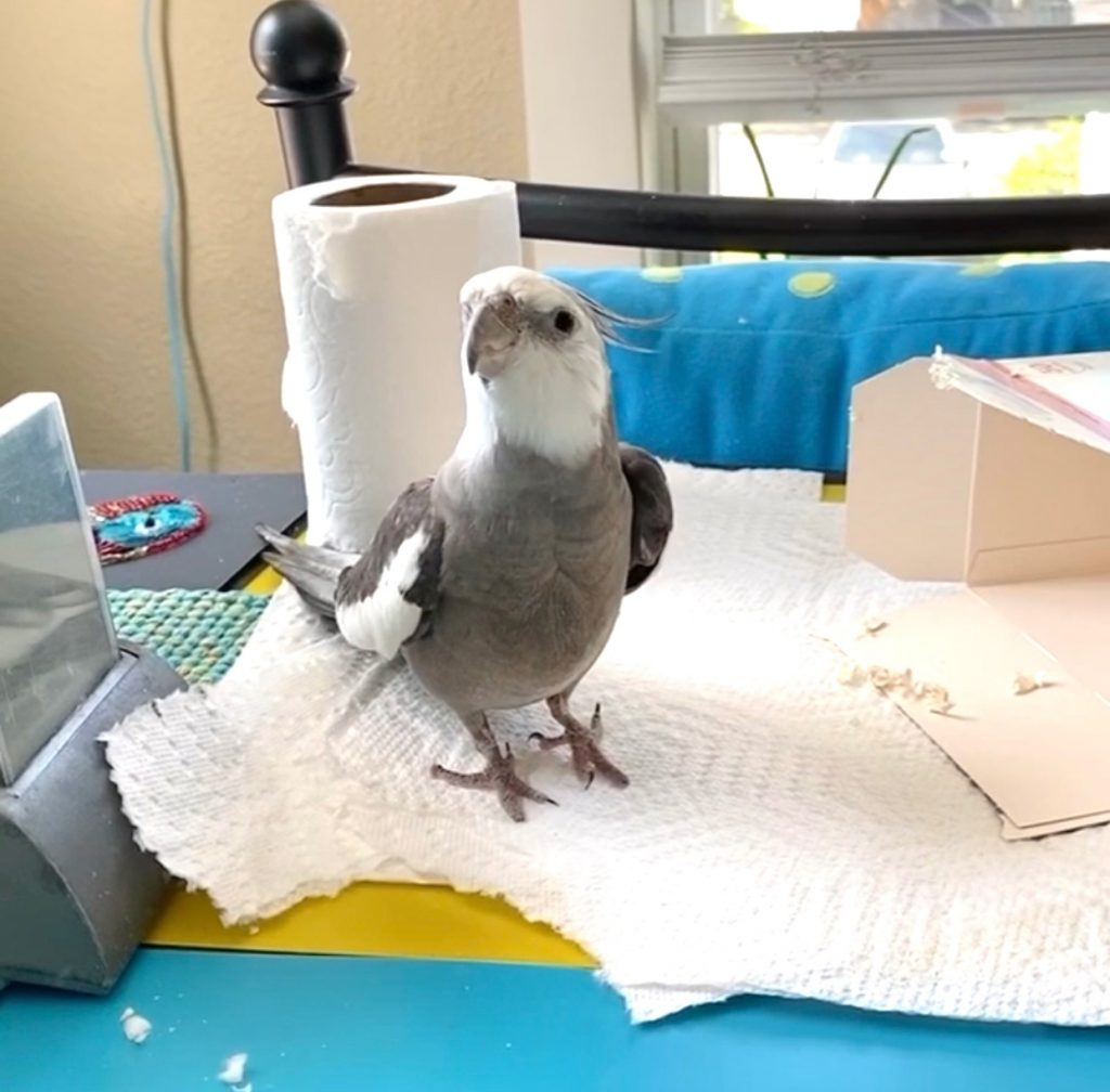 pet cockatiel with box