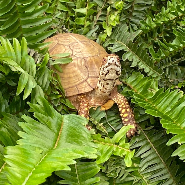 box turtle climbs fern