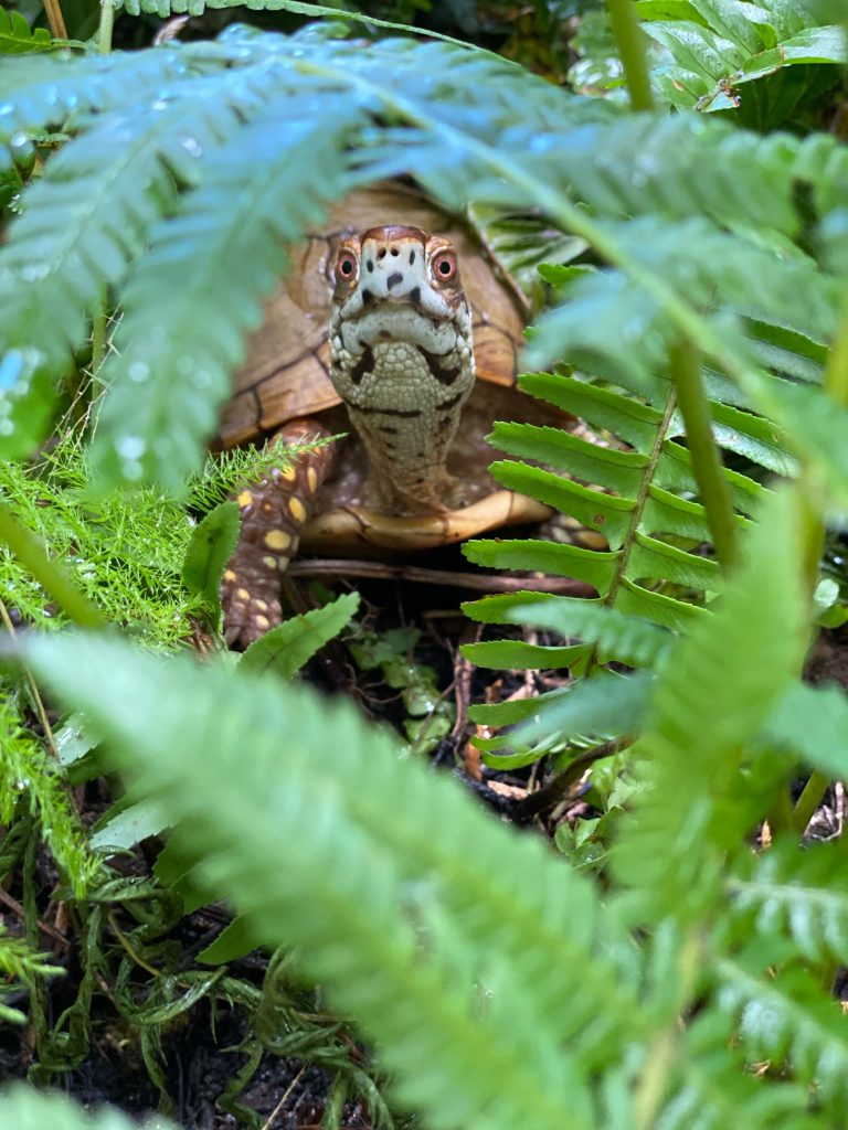 box turtle hiding in ferns