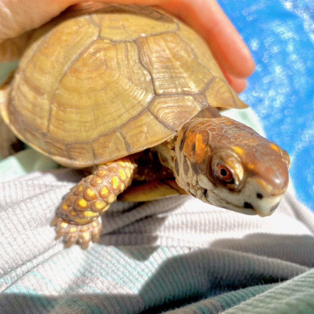 rescued box turtle