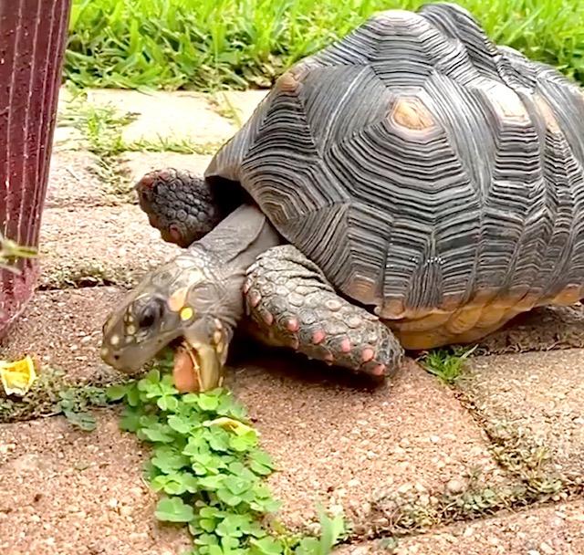 redfoot tortoise eats clover