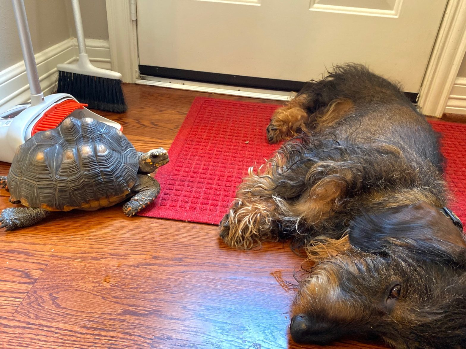 tortoise and dachshund FaceTime friends