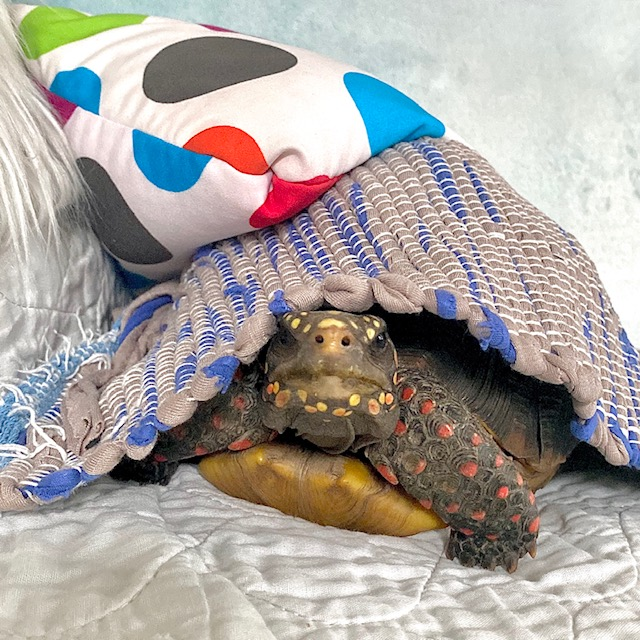 tortoise goes glamping