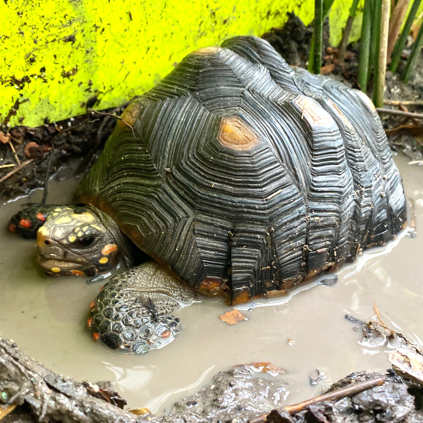 tortoise takes a mud bath