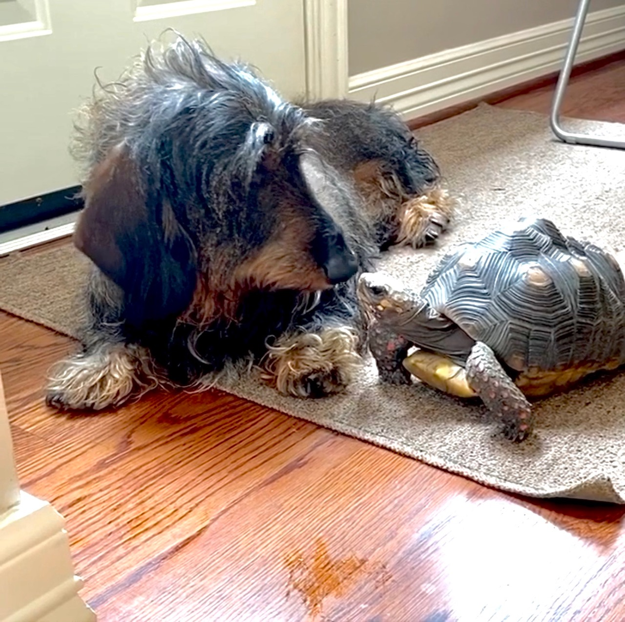 dachshund and tortoise are best friends