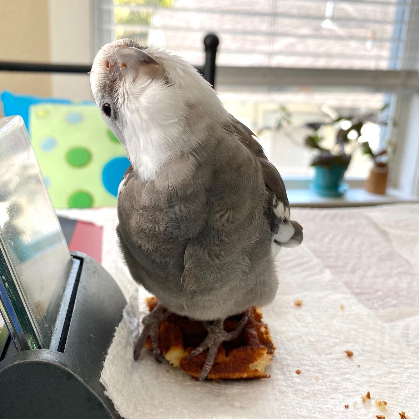 cockatiel sits on waffle