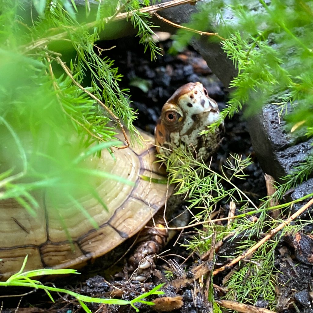 box turtle in rock cave