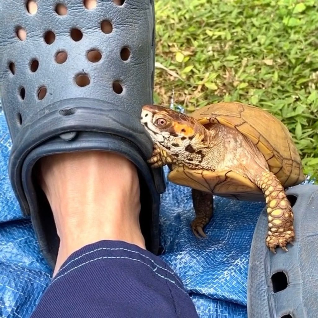 box turtle with Crocs sandals