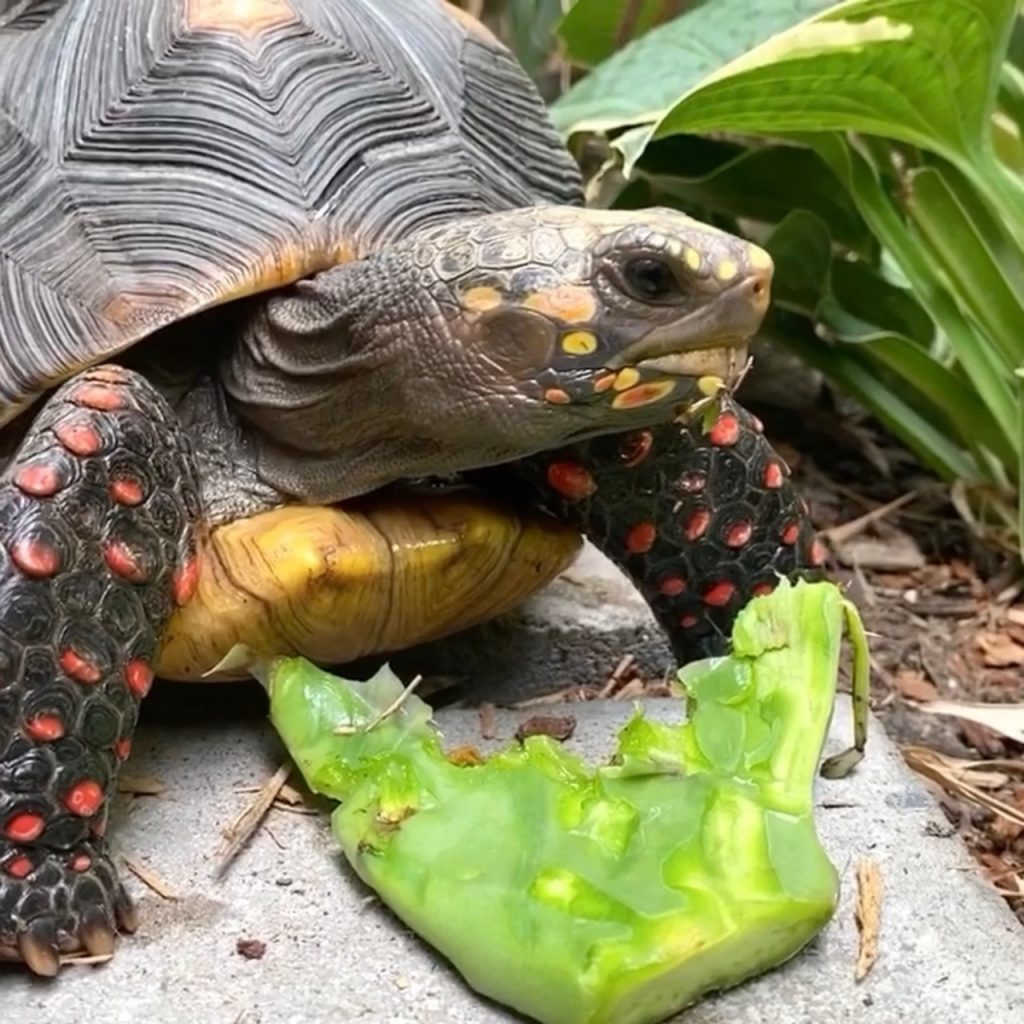 redfoot tortoise eats cactus pad