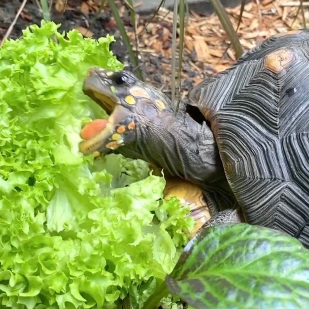 tortoise grazes on lettuce