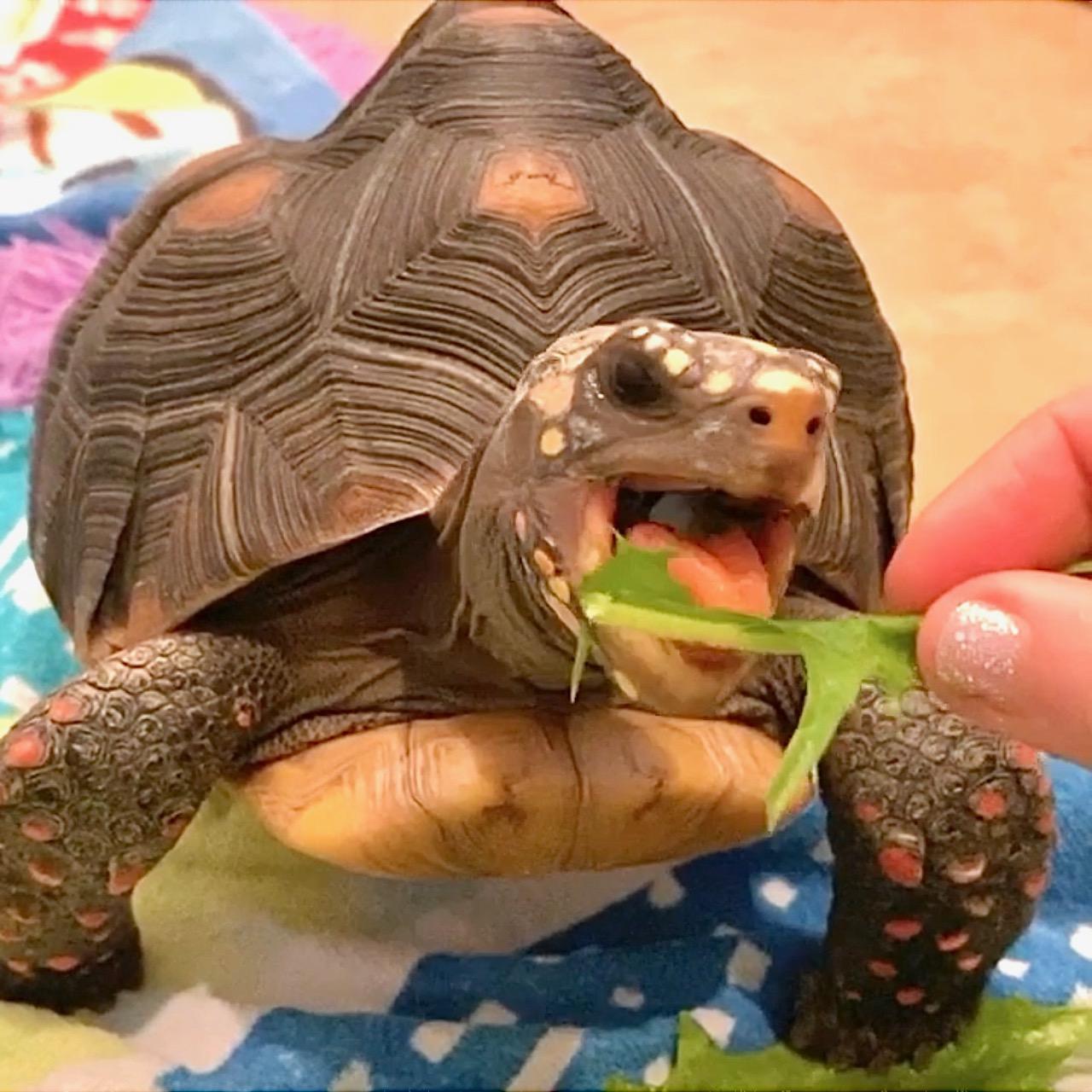 tortoise eats dandelion greens