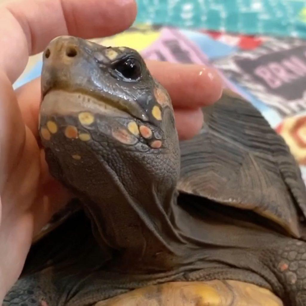 tortoise enjoys head pats