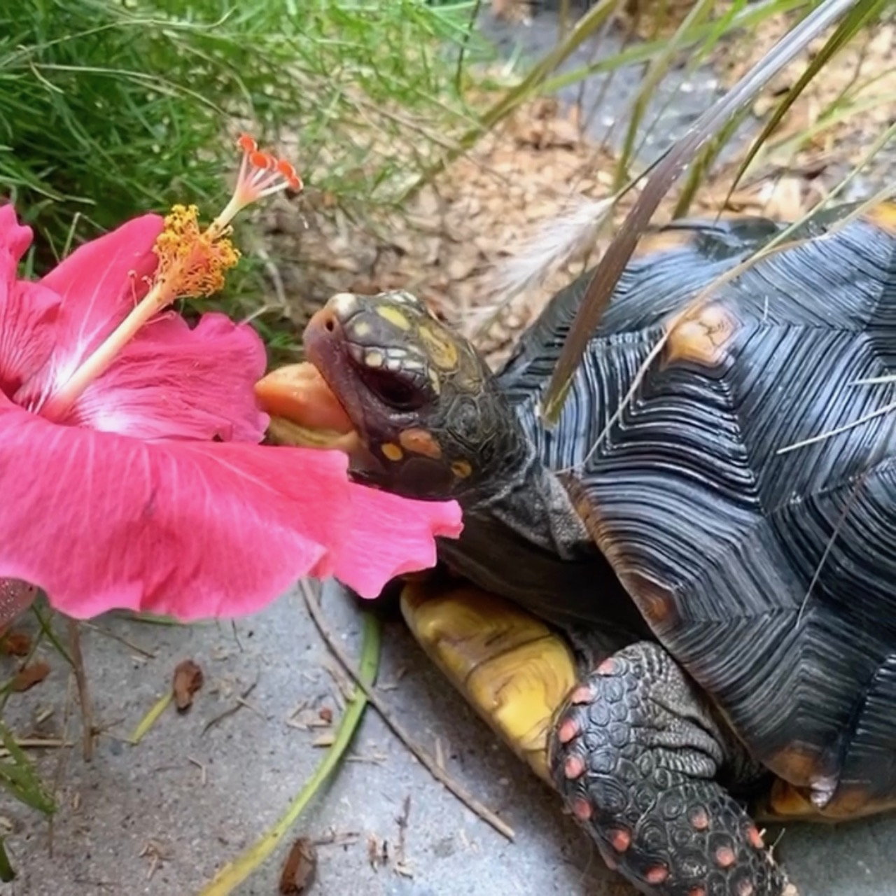 redfoot tortoise eats hibiscus flower