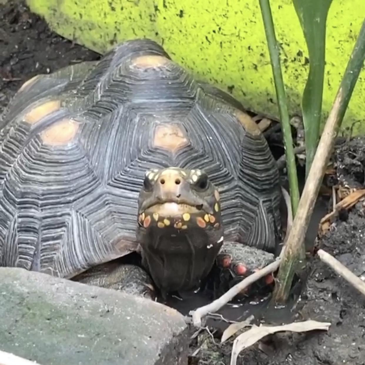 smiling redfoot tortoise soaks in mud wallow