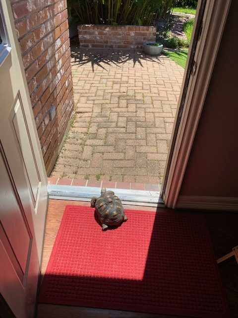 tortoise looks out door