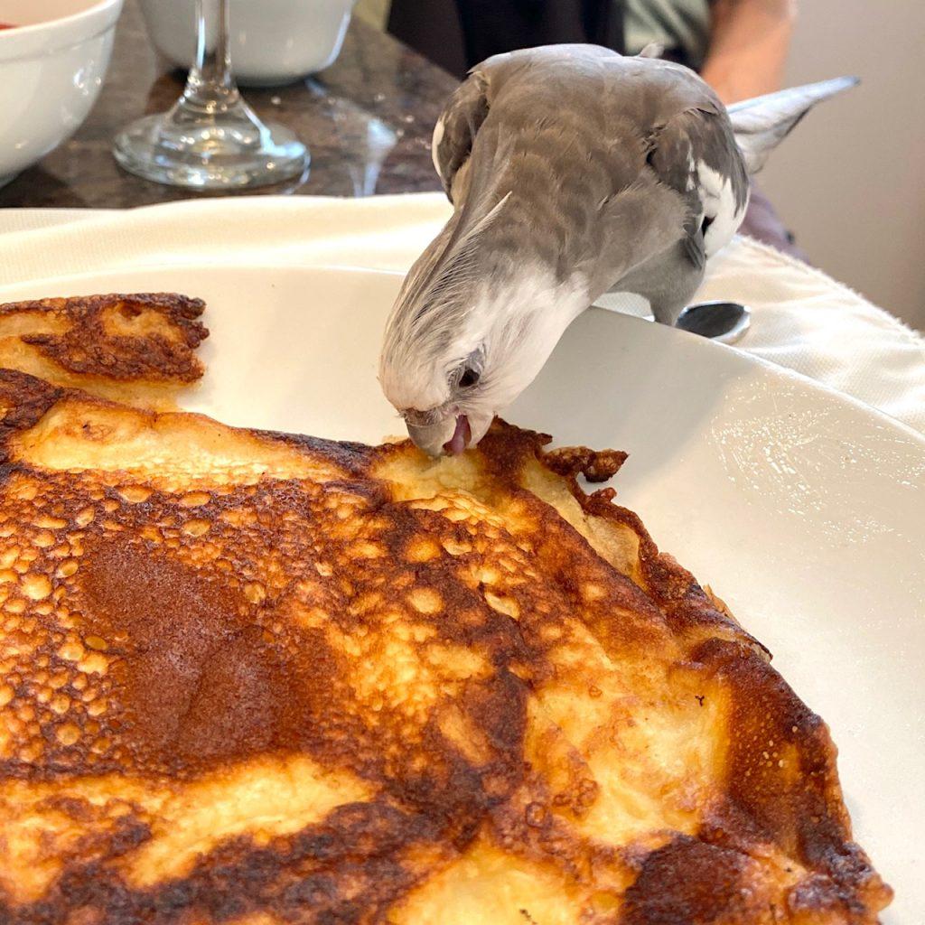 cockatiel eats pancake