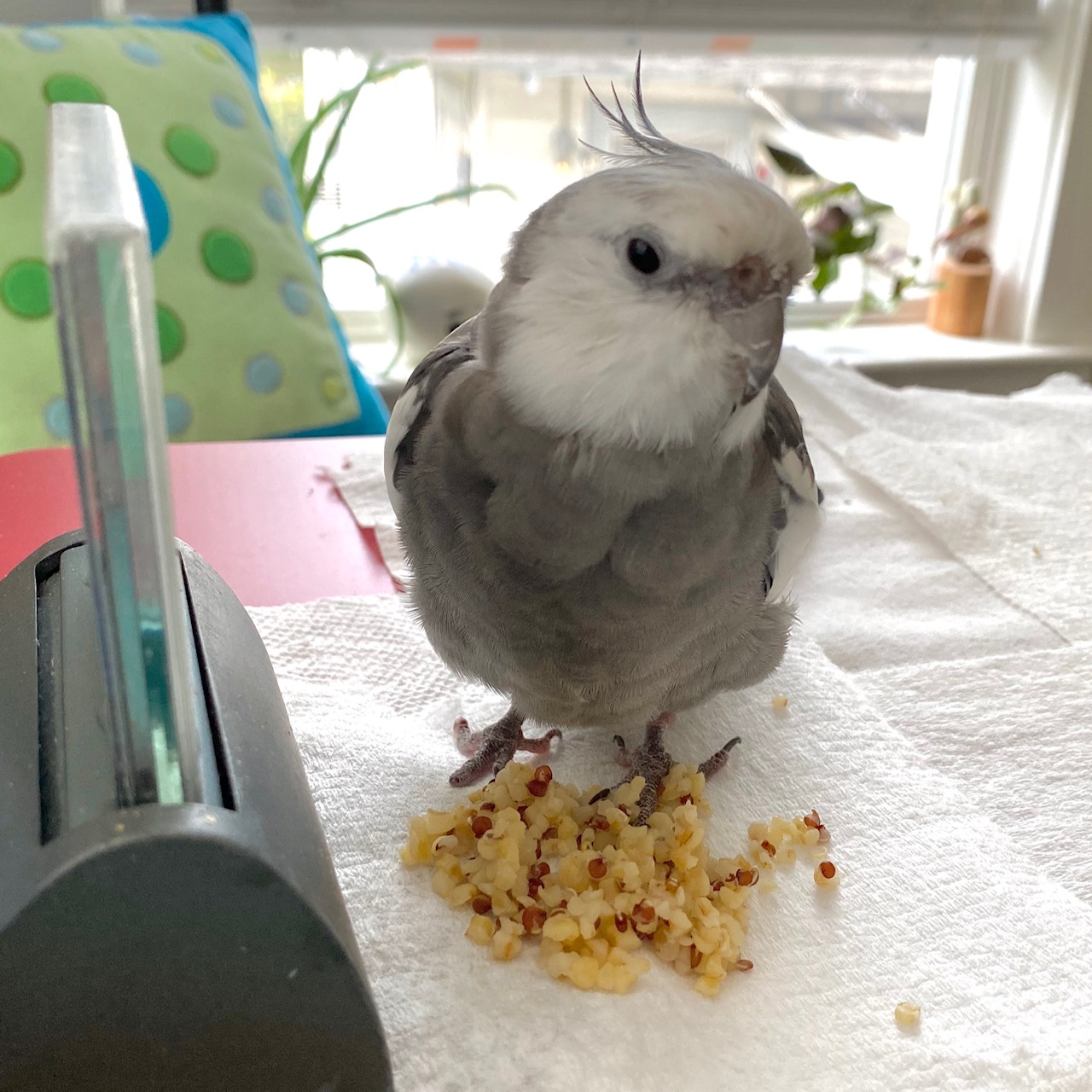 cockatiel stands on rice