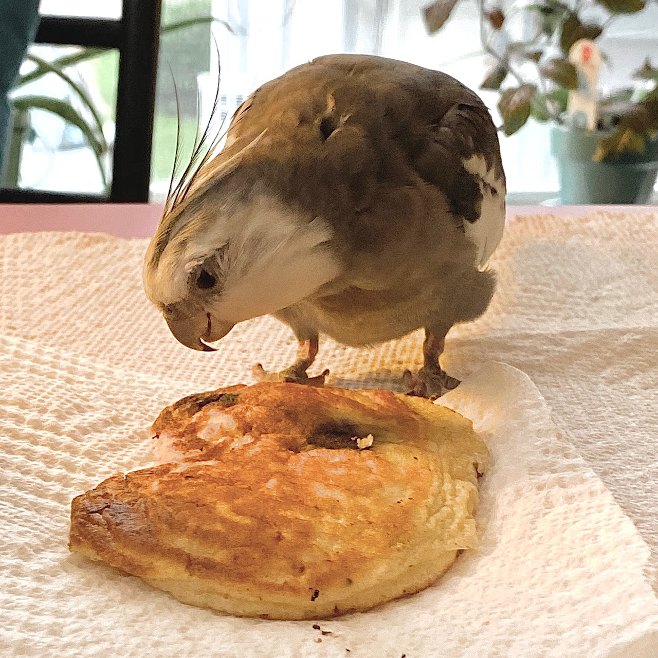 cockatiel with pancake