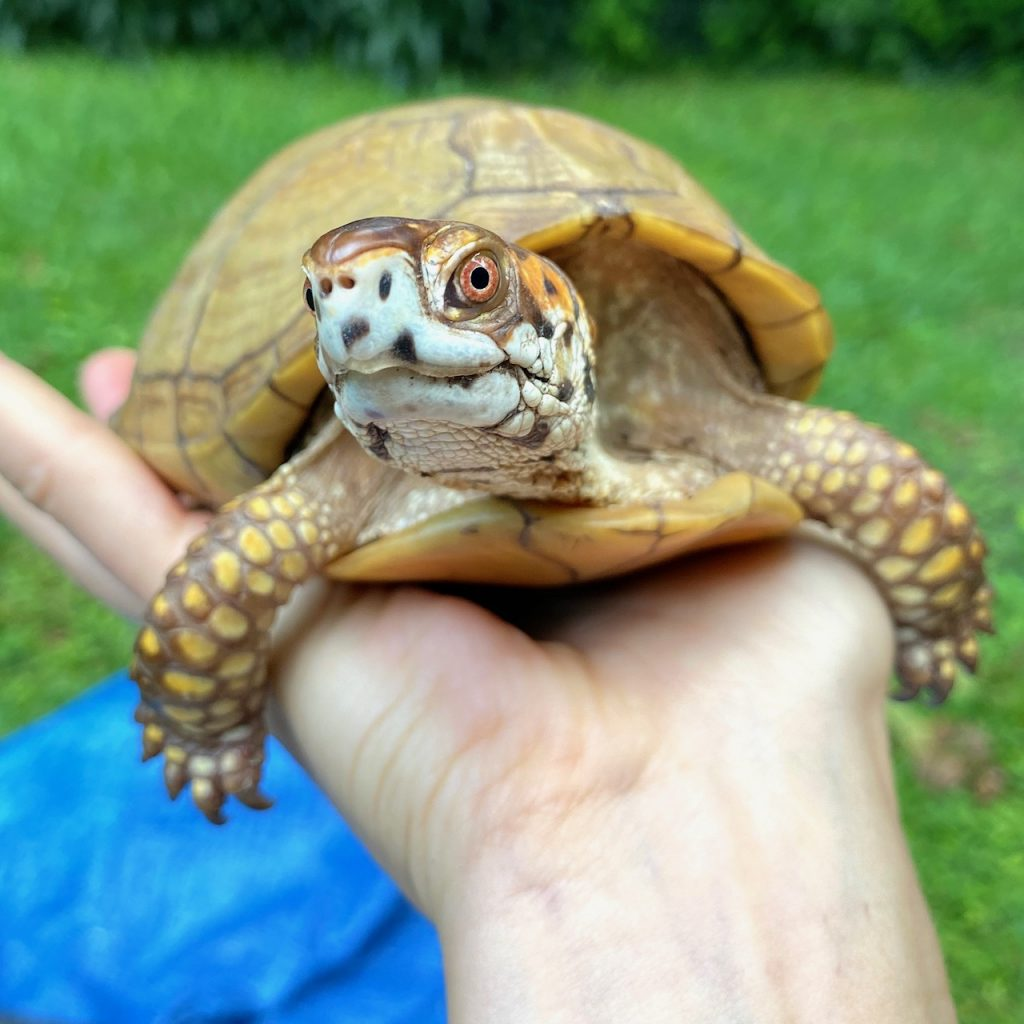 box turtle in rescue mama's hand