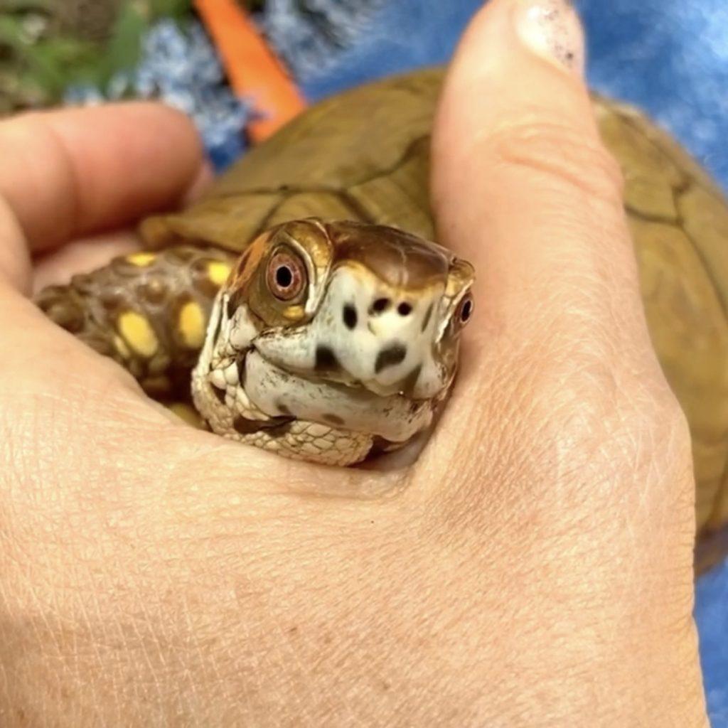 cute cuddling box turtle