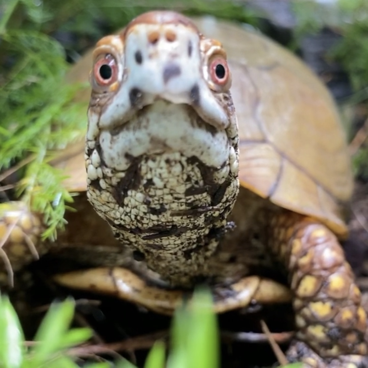 three-toed box turtle stare