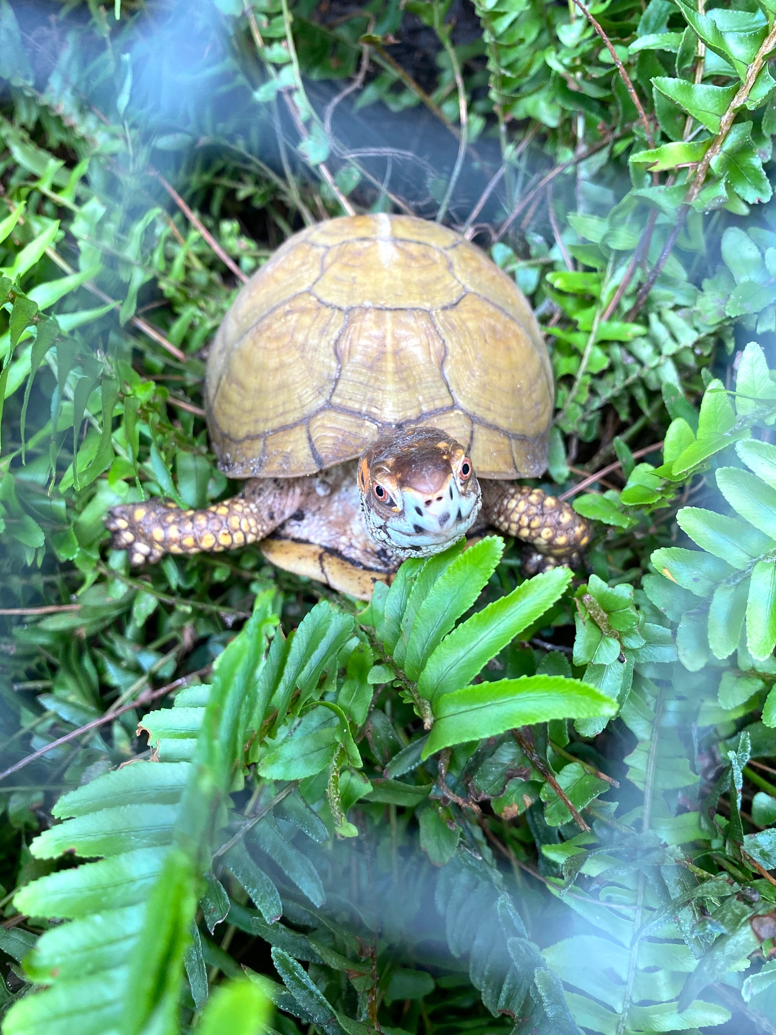 box turtle sits in fern