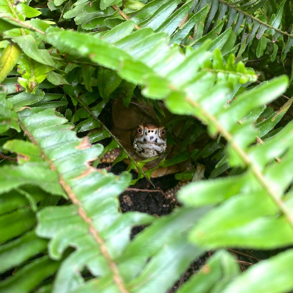 box turtle hides in fern