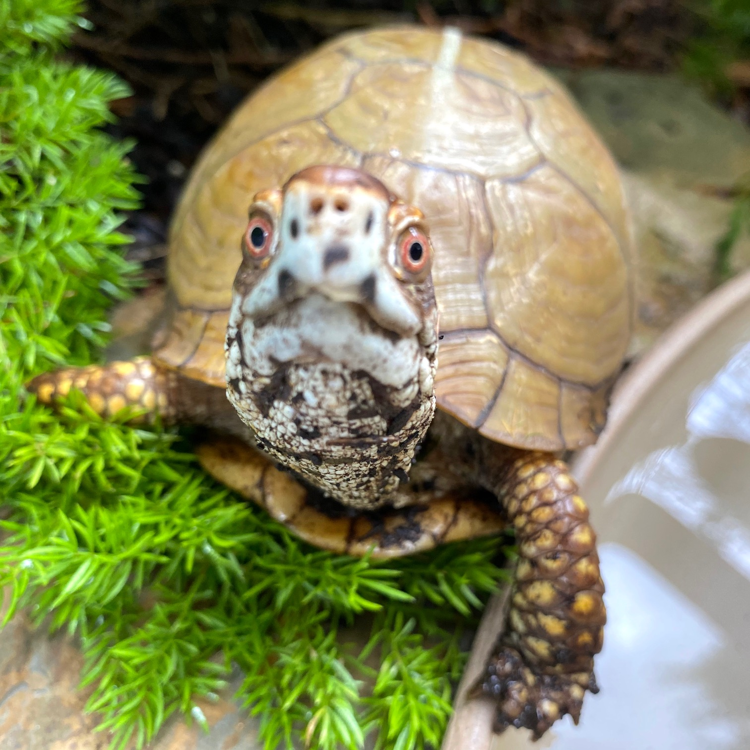 rescued male 3 toed box turtle