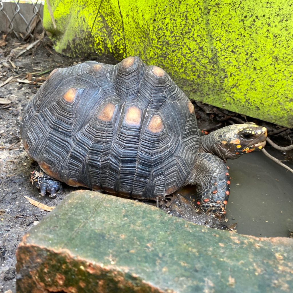 redfoot tortoise mud wallow