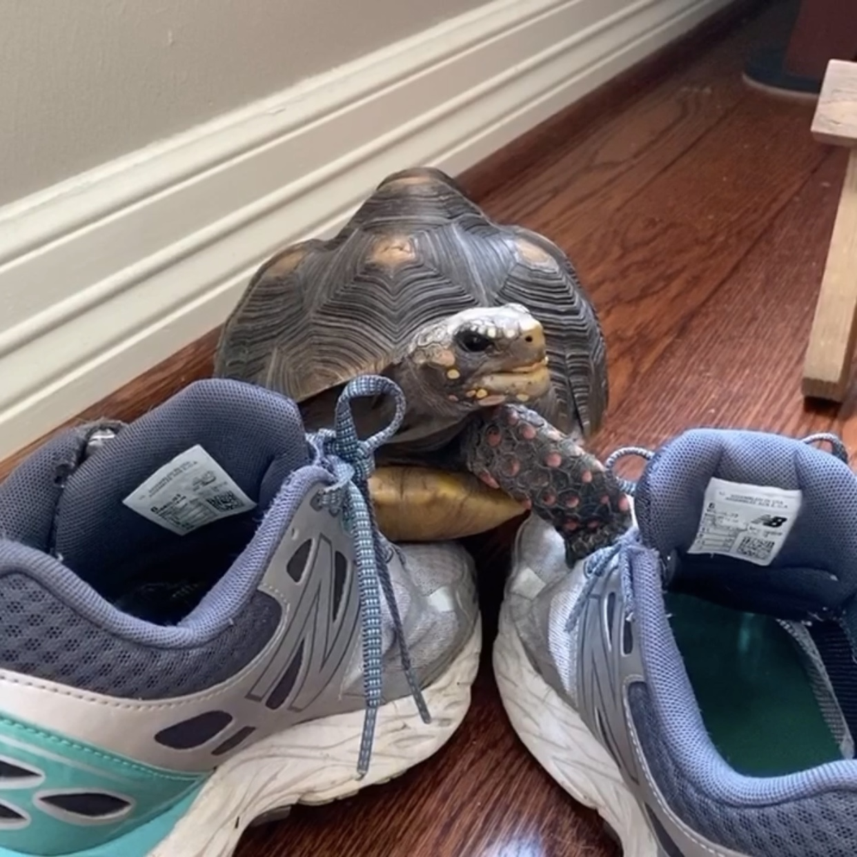 tortoise with tennis shoes