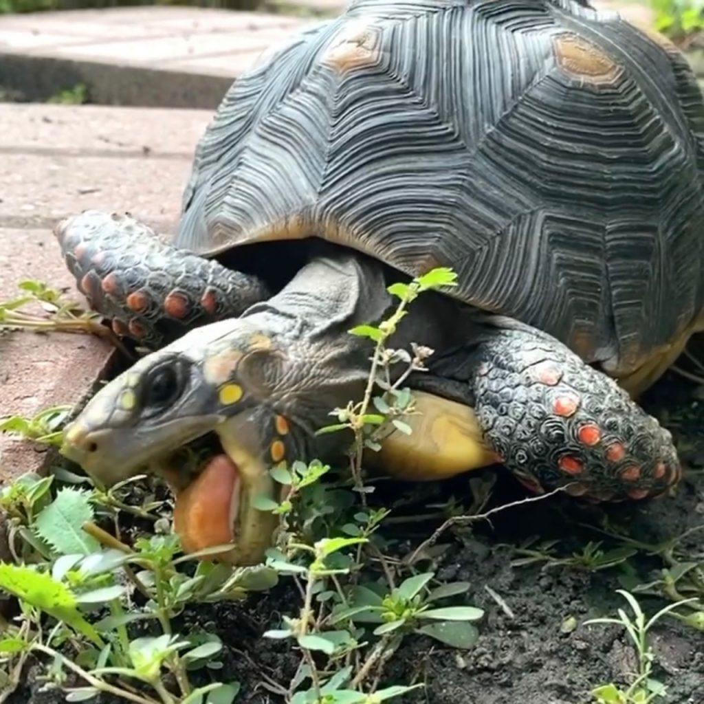redfoot tortoise eats weeds