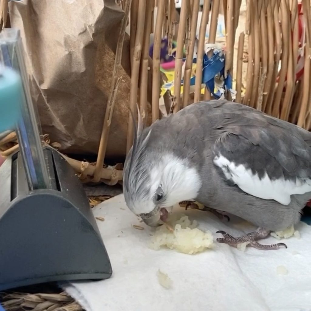 cockatiel attacks mashed potatoes