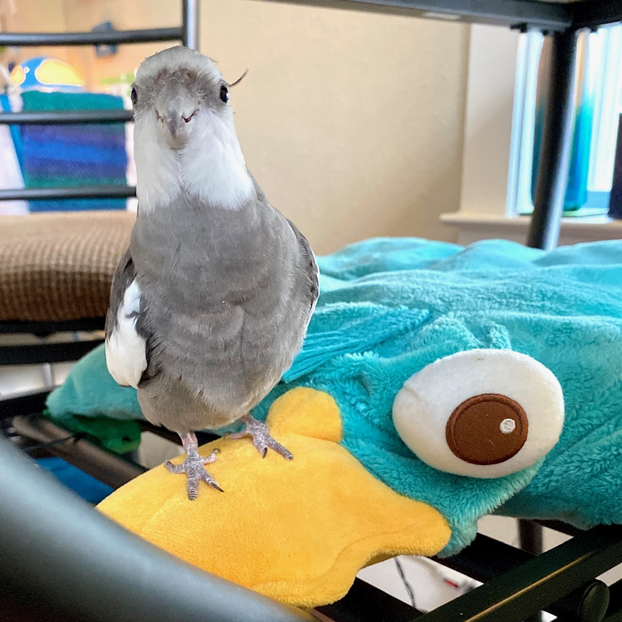 cockatiel sits on platypus