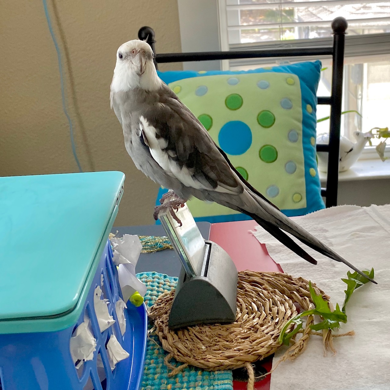 cockatiel stands on clock