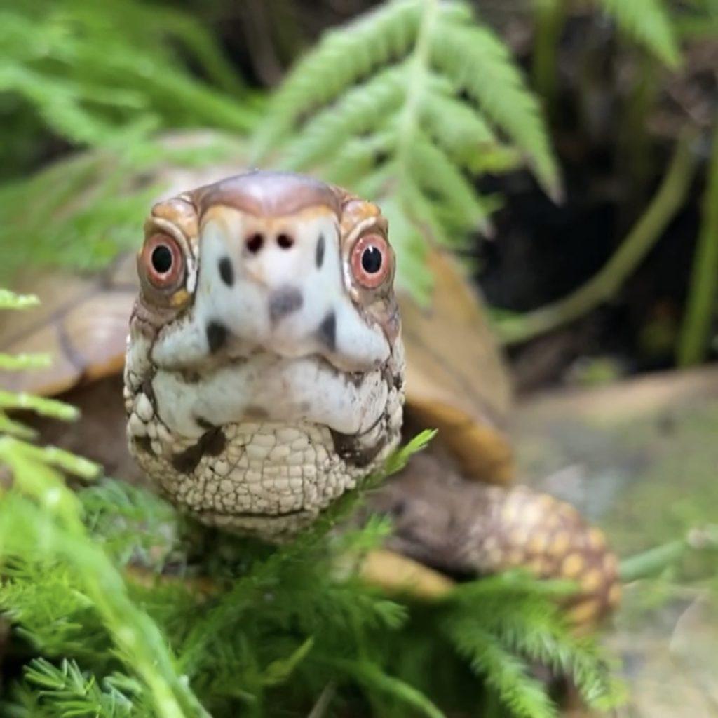 box turtle hides in ferns