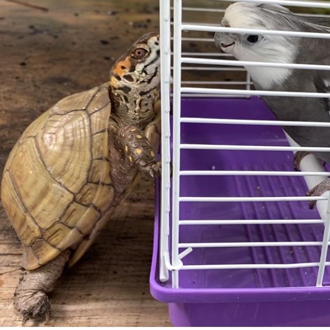 box turtle and cockatiel