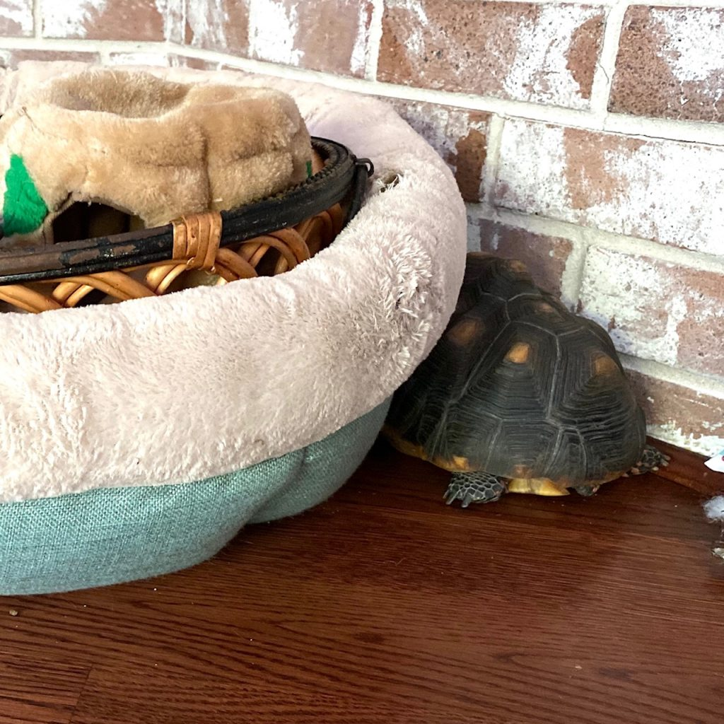 tortoise sleeps by dog bed