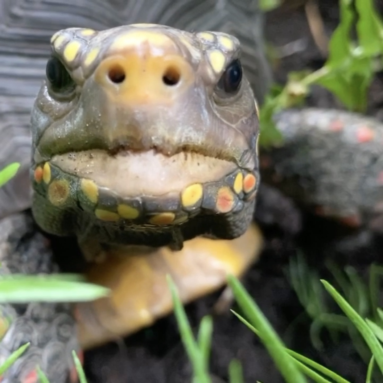 redfoot tortoise fangs