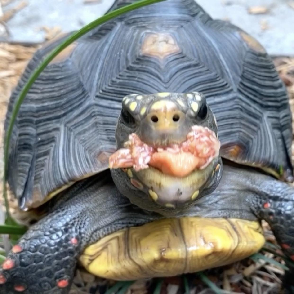 redfoot tortoise eats fig