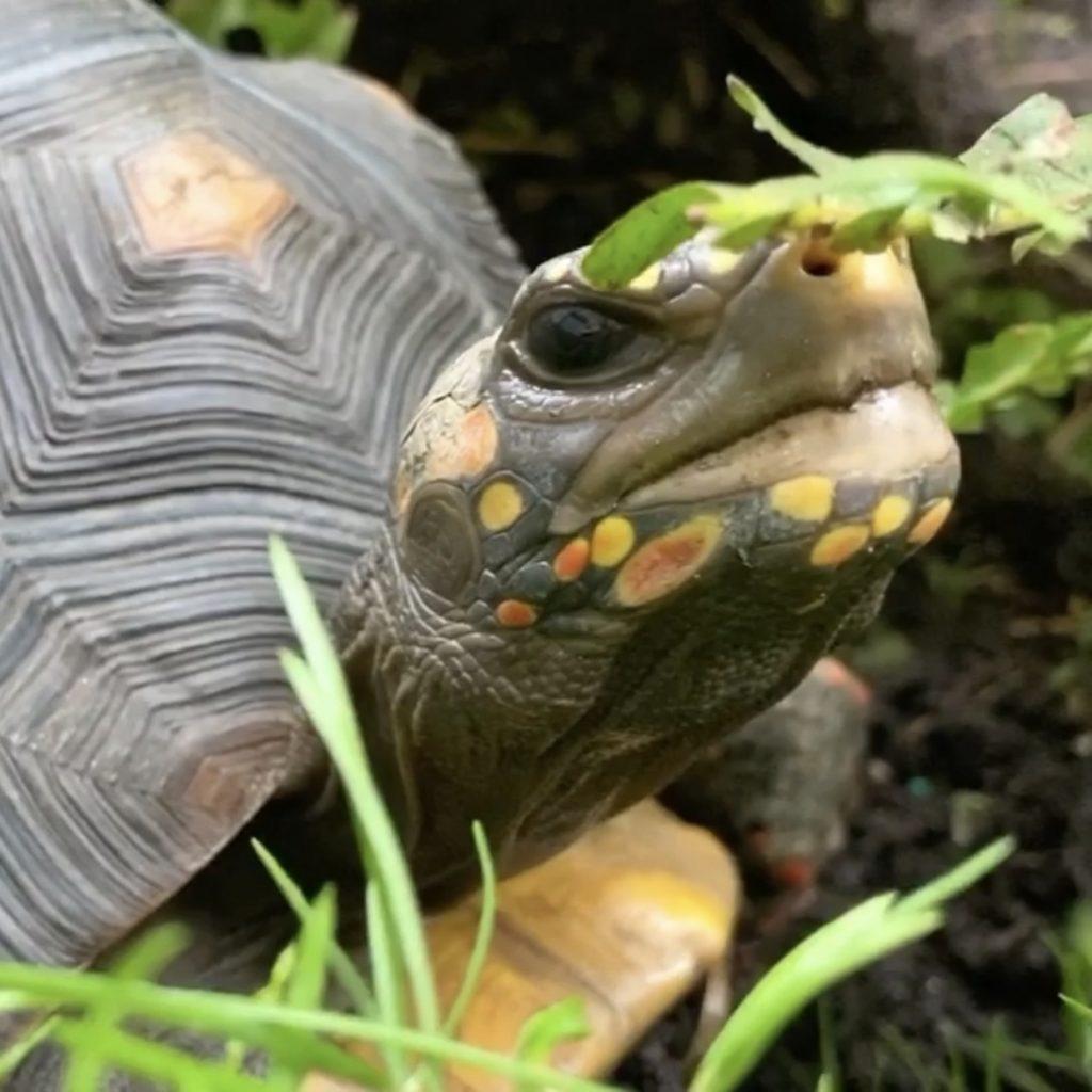 redfoot tortoise sniffs fern