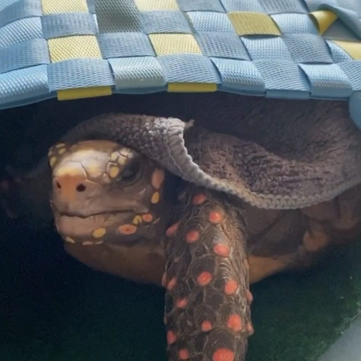 tortoise snoozes in basket