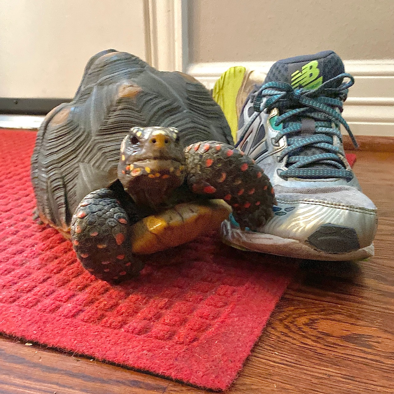 tortoise with sneaker