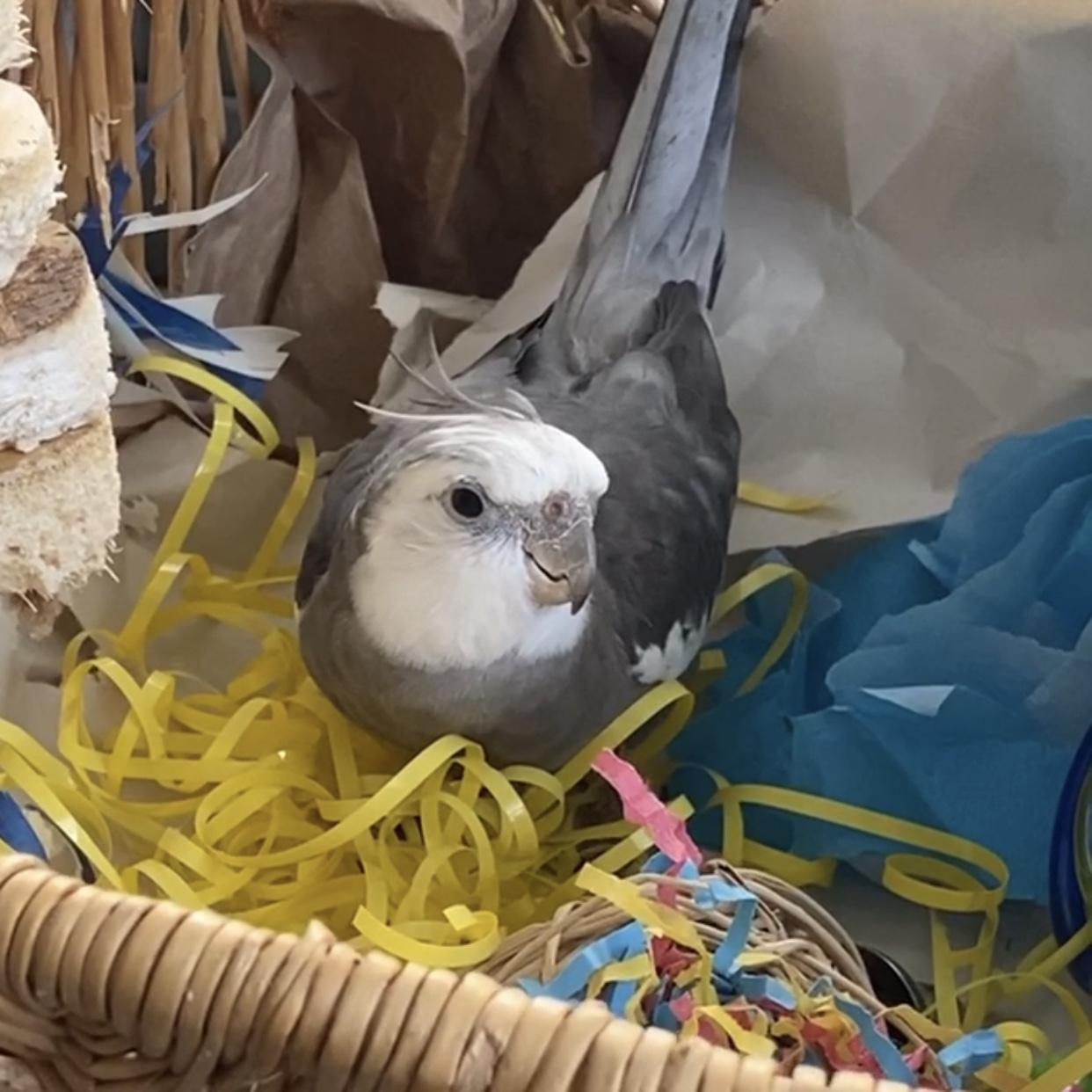 cockatiel nesting in a basket