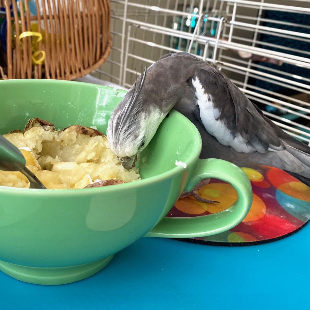 cockatiel eats out of bowl