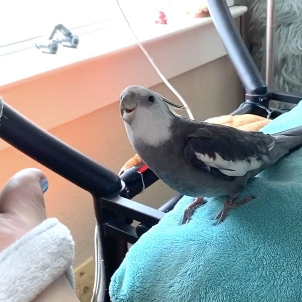 cockatiel singing