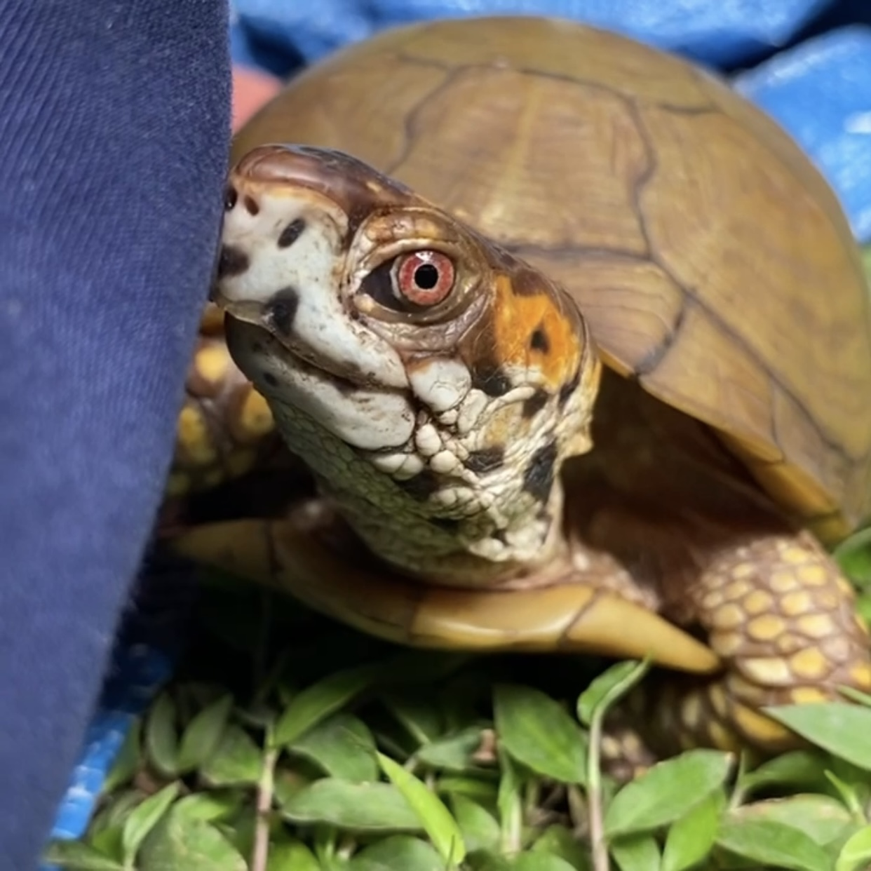 box turtle stare